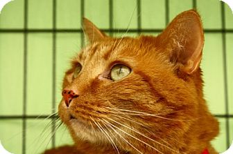 Domestic Shorthair Cat for adoption in Lombard, Illinois - Leo