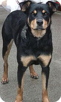 German shepherd mix rottweiler – Dogs our friends photo blog
