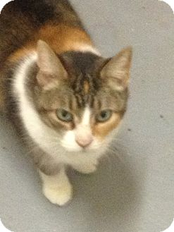 Calico Cat for adoption in Schererville, Indiana - Candy
