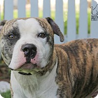 Pit Bull Terrier Dog for adoption in Troy, Illinois - Rio