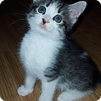 Domestic Shorthair Kitten for adoption in Asheboro, North Carolina - Mischief