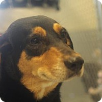 Rottweiler/Shepherd (Unknown Type) Mix Dog for adoption in Savannah, Tennessee - Wendy