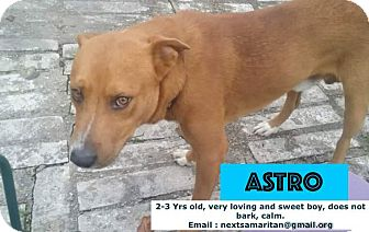 Labrador Retriever Mix Dog for adoption in Houston, Texas - Astro