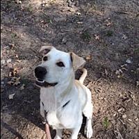 Labrador Retriever Mix Dog for adoption in Brattleboro, Vermont - Murphy