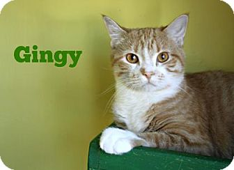 Domestic Shorthair Cat for adoption in West Des Moines, Iowa - Gingy