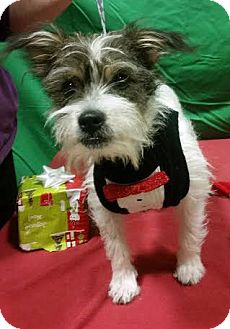 Fox Terrier (Wirehaired)/Terrier (Unknown Type, Small) Mix Puppy for adoption in Detroit, Michigan - JP-Adopted!