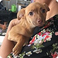 Adopt A Pet :: Elsa - Visalia, CA