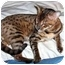Photo 2 - Bengal Cat for adoption in Los Angeles, California - Roo