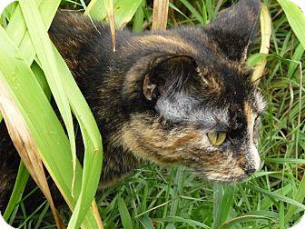Domestic Shorthair Cat for adoption in Toronto, Ontario - Skyy
