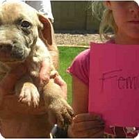 Adopt A Pet :: Raya - Mesa, AZ