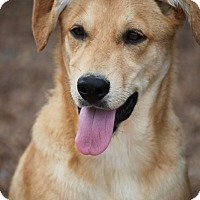Collie/Golden Retriever Mix Dog for adoption in Cranston, Rhode Island - Spree Eakas