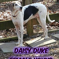 Adopt A Pet :: Daisy Duke - Huddleston, VA
