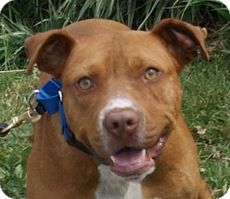 Pit Bull Terrier Mix Dog for adoption in Monroe, Michigan - Buttons