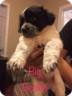 Spaniel (Unknown Type) Mix Puppy for adoption in Fort Atkinson, Wisconsin - Big Bertha