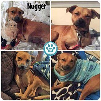 Retriever (Unknown Type) Mix Dog for adoption in Kimberton, Pennsylvania - Nugget