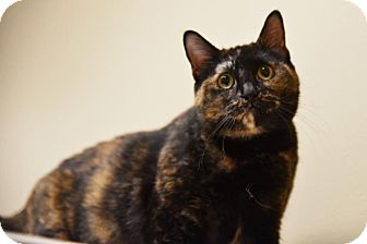 Domestic Shorthair Cat for adoption in Chicago, Illinois - Gertie