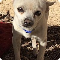 Adopt A Pet :: Bruno - Las Vegas, NV