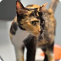 Domestic Shorthair Cat for adoption in Atlanta, Georgia - Mama Emma161696