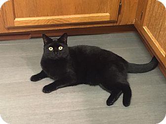 Domestic Shorthair Cat for adoption in Waldorf, Maryland - Samantha