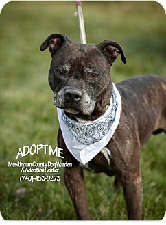 American Pit Bull Terrier Mix Dog for adoption in Zanesville, Ohio - Ruger - Urgent!