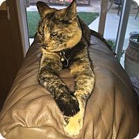 Calico Cat for adoption in Davis, California - Annika
