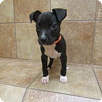 Adopt A Pet :: Stitch - Appleton, WI