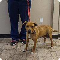 Boxer/Labrador Retriever Mix Dog for adoption in Oviedo, Florida - Trudy
