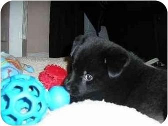 Pomeranian/Blue Heeler Mix Puppy for adoption in Claymont, Delaware - Chloe