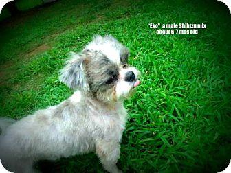 Shih Tzu Mix Puppy for adoption in Gadsden, Alabama - Eko