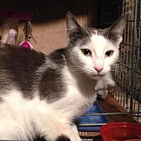 Domestic Shorthair Cat for adoption in Los Angeles, California - Rosie