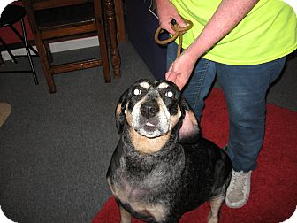 Coonhound Mix Dog for adoption in Port Clinton, Ohio - MAIZE
