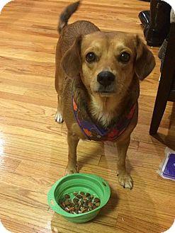 Beagle/Pug Mix Dog for adoption in Astoria, New York - Poppie: Adoption Pending