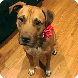 Labrador Retriever/Golden Retriever Mix Dog for adoption in San Antonio, Texas - Ruby