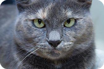 Domestic Shorthair Cat for adoption in Irvine, California - Rita