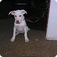 Adopt A Pet :: Piper - Albany, NY