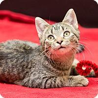 Adopt A Pet :: Chai - Chicago, IL