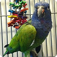 Adopt A Pet :: Cricket - Lenexa, KS