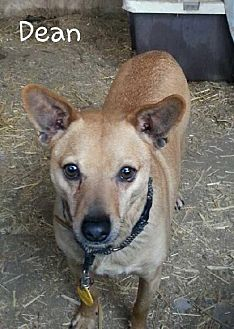 Terrier (Unknown Type, Medium)/Chihuahua Mix Dog for adoption in Templeton, California - Dean