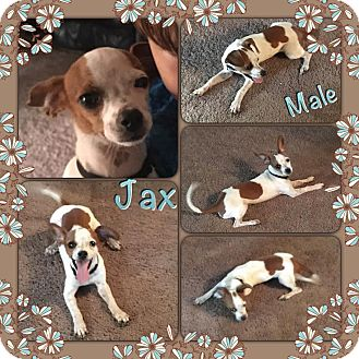 Chihuahua/Feist Mix Puppy for adoption in Manchester, Connecticut - Jax in CT