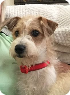 Terrier (Unknown Type, Small) Mix Dog for adoption in Plano, Texas - Chase