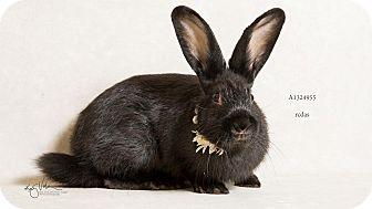 Netherland Dwarf Mix for adoption in Palm Desert, California - Olive