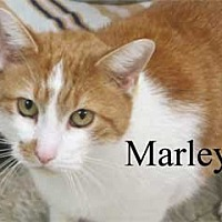 Domestic Mediumhair Cat for adoption in Warren, Pennsylvania - Marley