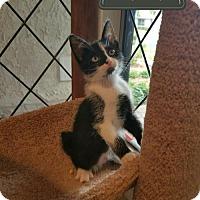 Adopt A Pet :: Onyx - Agoura Hills, CA