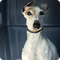 Adopt A Pet :: Fifi - Richardson, TX