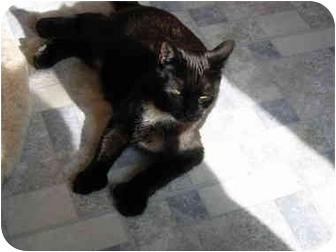 Domestic Shorthair Cat for adoption in North Boston, New York - Eliot