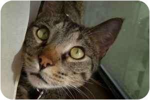 Domestic Shorthair Cat for adoption in Bentonville, Arkansas - Raphael