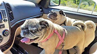 Pug Dog for adoption in Austin, Texas - Bee Bee