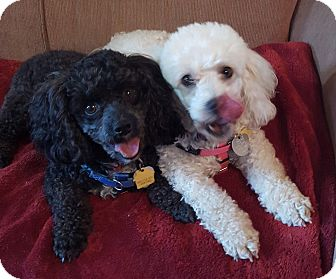 Poodle (Toy or Tea Cup) Dog for adoption in Alpharetta, Georgia - Sammy and Lilly