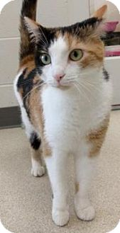 Calico Cat for adoption in Evansville, Indiana - Sandy