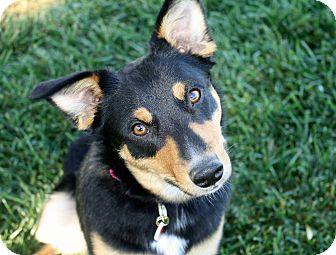 Australian Cattle Dog/Border Collie Mix Dog for adoption in Yorba Linda, California - Tabatha - 30 lbs!